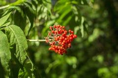 Czerwone jagody zamknięte przeciw tłu zielony ulistnienie w lesie dziki elderberry Obrazy Royalty Free