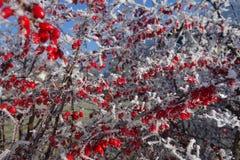 czerwone jagody zimy Fotografia Royalty Free
