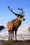 czerwone jeleni jelenie Obrazy Royalty Free