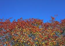 Czerwone jesienne dzikie owoc Obraz Stock