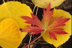 czerwone jesiennej żółty Zdjęcia Royalty Free
