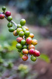 Czerwone kawowe fasole na gałąź kawowy drzewo, obrazy royalty free