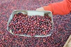 Czerwone kawowe jagody Zdjęcie Royalty Free