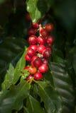 Czerwone kawowe wiśnie Obraz Royalty Free
