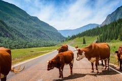 Czerwone krowy na asfaltowej drodze wśród Altai gór Obraz Stock