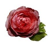 Czerwone kwiat róże na białym odosobnionym tle z ścinek ścieżką żadny cienie zieleń liść wzrastali Dla projekta zbliżenie Obrazy Royalty Free