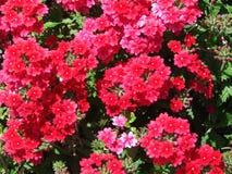 czerwone kwiaty Zdjęcie Stock