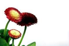 czerwone kwiaty Obraz Stock