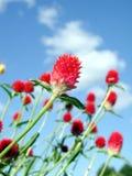 czerwone kwiaty Zdjęcia Stock