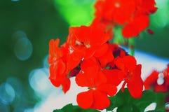 czerwone kwiaty Obrazy Stock