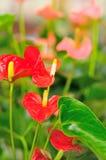 czerwone kwiaty obraz royalty free