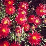 czerwone kwiaty Fotografia Royalty Free