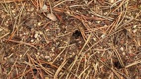 Czerwone lasowe mrówki budują anthill zbiory wideo