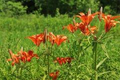 Czerwone leluje w ogródzie Zdjęcie Stock