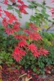 czerwone liście jesienią Zdjęcia Stock
