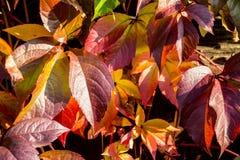czerwone liście jesienią Zdjęcie Stock