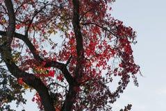 czerwone liście jesienią Obraz Stock