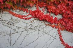 czerwone liście jesienią Obrazy Royalty Free
