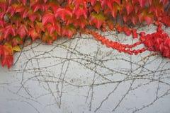 czerwone liście jesienią Obraz Royalty Free