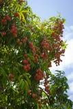 Czerwone lychee owoc na drzewie obrazy royalty free