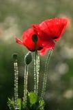 czerwone maki Zdjęcia Royalty Free