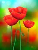 czerwone maki Zdjęcie Stock