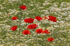 czerwone maki Obrazy Royalty Free