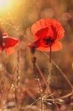 czerwone maki Zdjęcia Stock