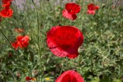 czerwone maki polowe Zdjęcie Royalty Free