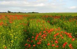 czerwone maki zielonych pól Zdjęcie Royalty Free