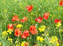 czerwone maki zielonych pól Obrazy Stock