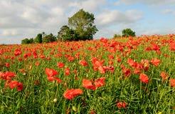 czerwone maki zielonych pól Obrazy Royalty Free
