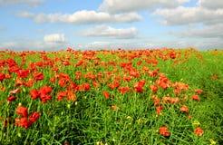 czerwone maki zielonych pól Fotografia Stock