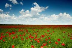 czerwone maki zielonych pól Fotografia Royalty Free