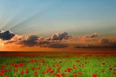 czerwone maki zielonych pól Zdjęcia Stock