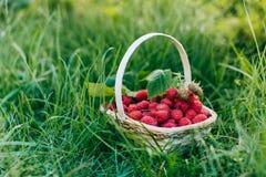 Czerwone malinki w drewnianym koszu w ogródzie Fotografia Royalty Free