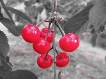 Czerwone Montmorency wiśnie na drzewie w czereśniowym sadzie tła czarny karcianego projekta kwiatu fractal dobrego ogange plakato Zdjęcie Stock