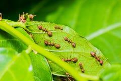 Czerwone mrówki Obrazy Royalty Free