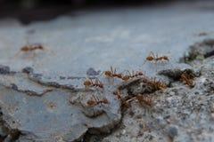 Czerwone mrówki Zdjęcie Royalty Free