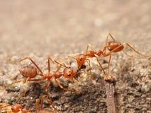 Czerwone mrówki Zdjęcia Stock