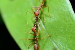 Czerwone mrówki pracują wpólnie przynosić jedzenie gniazdowy, anthill/ Obrazy Royalty Free