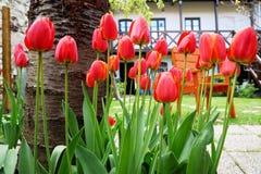 czerwone ogrodowe tulipany Obrazy Royalty Free