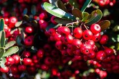 Czerwone owoc Obraz Royalty Free