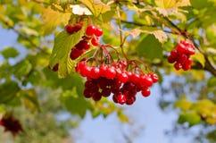 Czerwone owoc w jesieni Obrazy Royalty Free