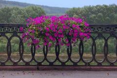 Czerwone petunie Fotografia Stock