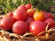 czerwone pomidorów Zdjęcie Stock