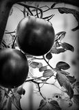 czerwone pomidorów Artystyczny spojrzenie w czarny i biały obrazy stock