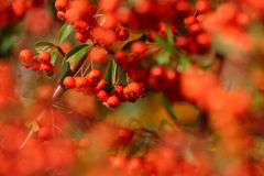 Czerwone Pyracantha jagody Fotografia Royalty Free