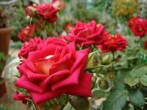 czerwone róże w lato ogródzie fotografia stock