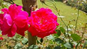 Czerwone róże bardzo piękne i zadziwiające Obraz Stock